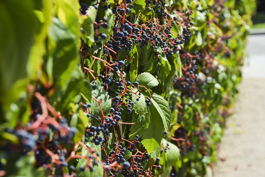 Culture de raisins bio